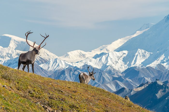 Reindeer at Denali