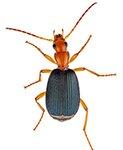Beetle Size