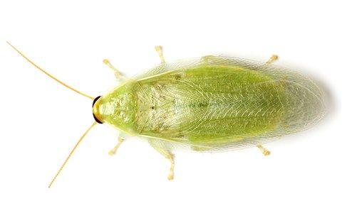 Cuban Cockroach