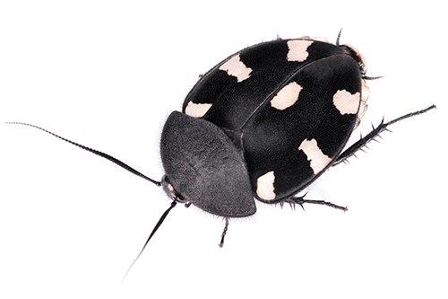 Domino Cockroach