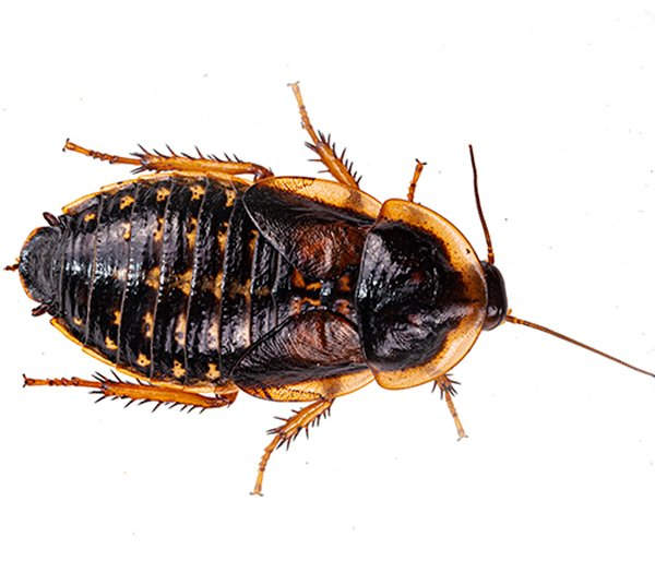 Orange-Spotted Cockroach