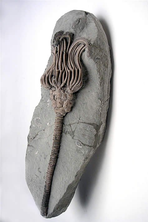 Sea lily fossil