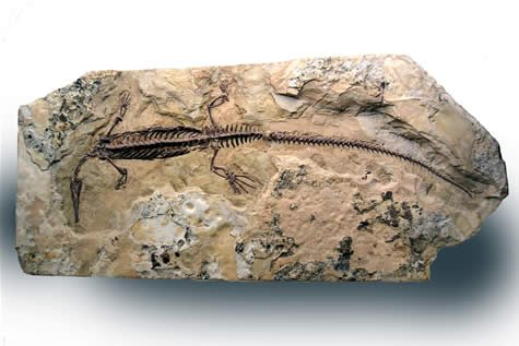 Swimming reptile fossil