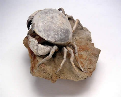 Crab fossil