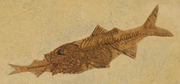 Fossil of a fish eating a fish