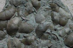 thin-shelled brachiopods