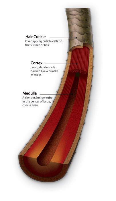 Human hair cross-section
