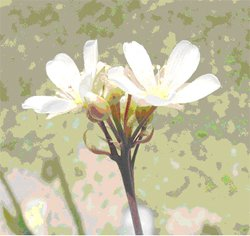 Flytrap flower