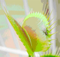 This flytrap caught a fly