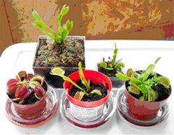 Healthy Venus Flytraps
