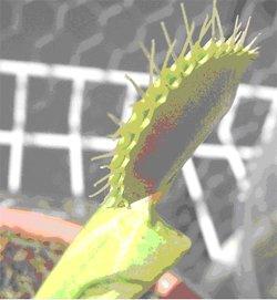 Venus flytrap bristles