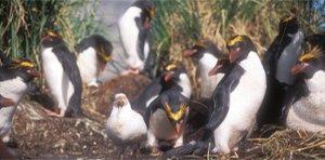 Macaroni penguins