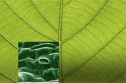 The underside of a leaf