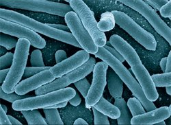 <em>Escherichia coli</em> (<em>E. coli</em>)