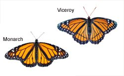Monarch and Viceroy Comparison