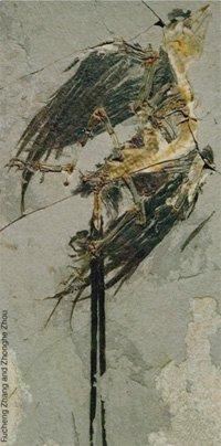 <em>Eoconfuciusornis zhengi</em>