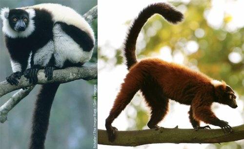 Lemur Thumbs, Toes and Tails