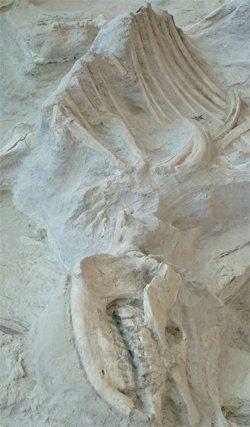 Rhinoceros Fossil