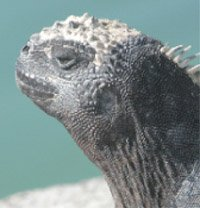 Iguana Head with Salt