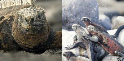 Salt Sneezing Iguanas