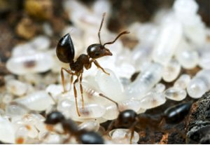 Ant Alarm Posture with Eggs