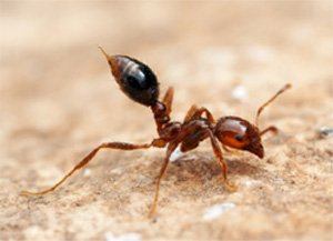Ant Sting with Venom