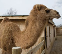 Gomer the Camel