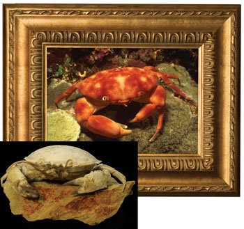 Living and Fossil Crabs