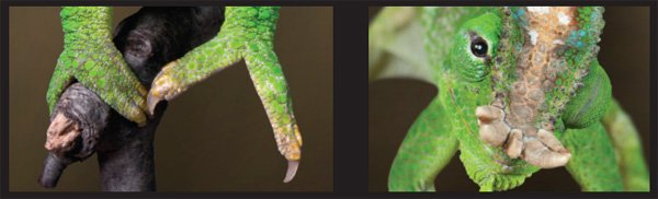 Chameleon Feet and Eyes