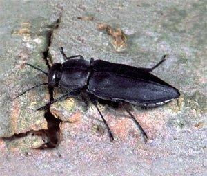 Melanophila beetle