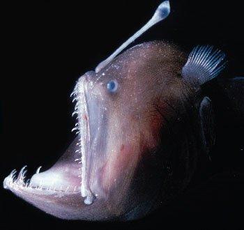 Anglersfish