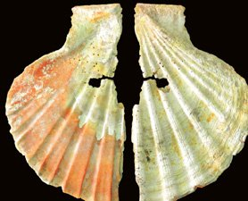 Neanderthal pierced, stained shell