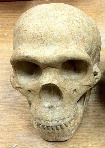 Neanderthal Skull Cast