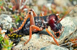 Mountain Stone Weta