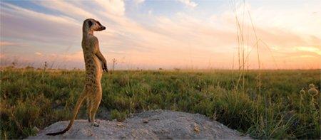 Meerkat Sentinal