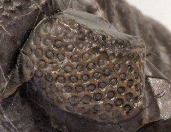 Trilobite Eyes