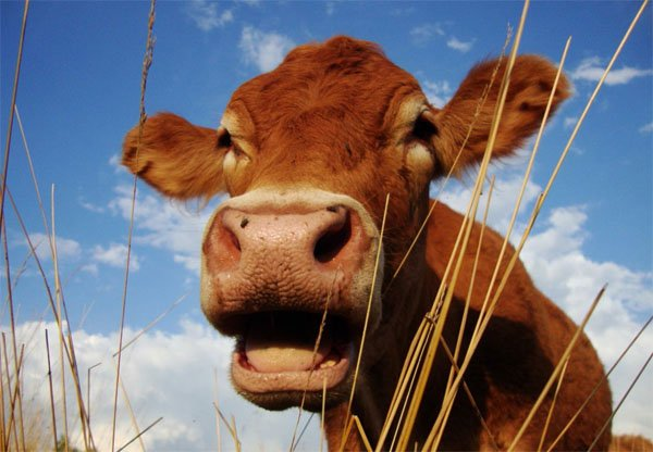 Limousin Steer