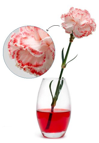 Carnation Experiment