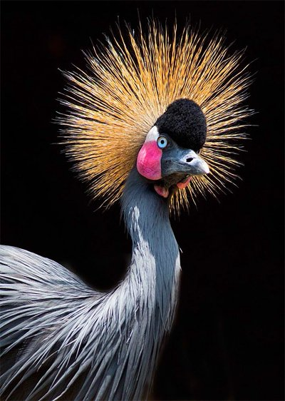 Grey Crowned Crane