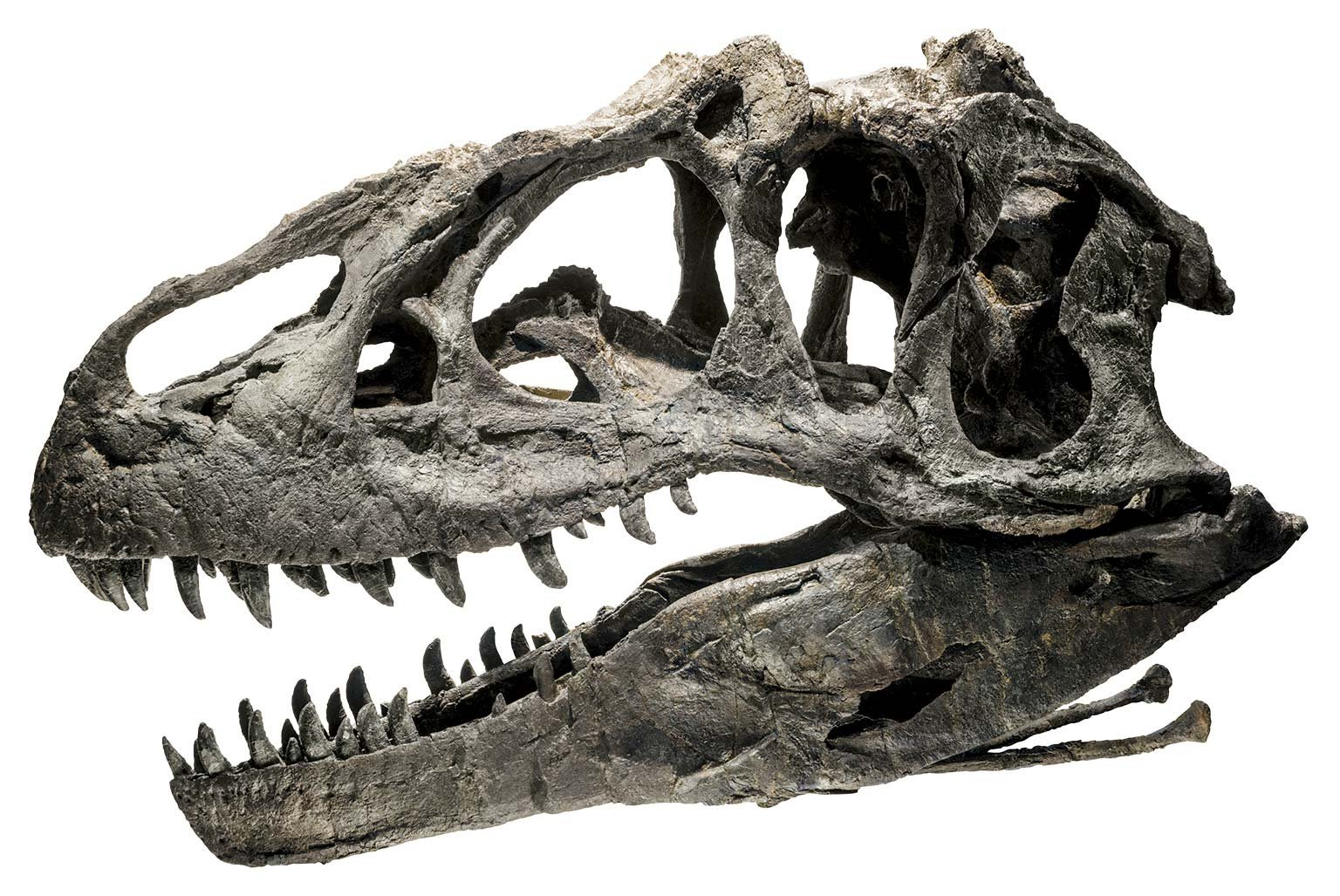 Allosaurus A Creationist S Best Friend Answers In Genesis
