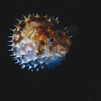 Long Spine Porcupine Fish