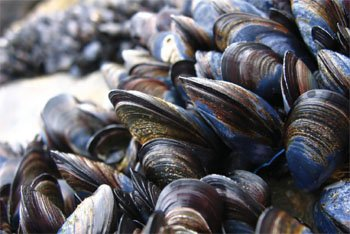 Common Mussel