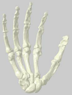 The right hand of Homo naledi.
