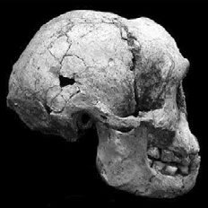 Side view of LB1 skull