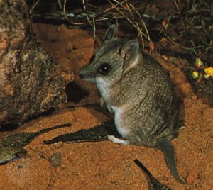 Marsupial mouse