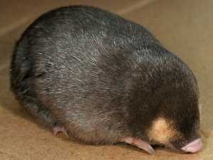 Cape golden mole