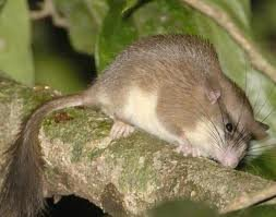 Malabar spiny dormouse