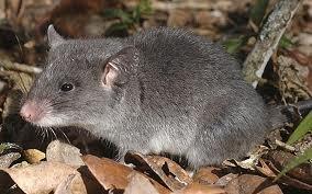 Lesser hamster-rat