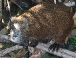 Demarest's hutia