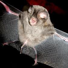 Sundevall's leaf-nosed bat